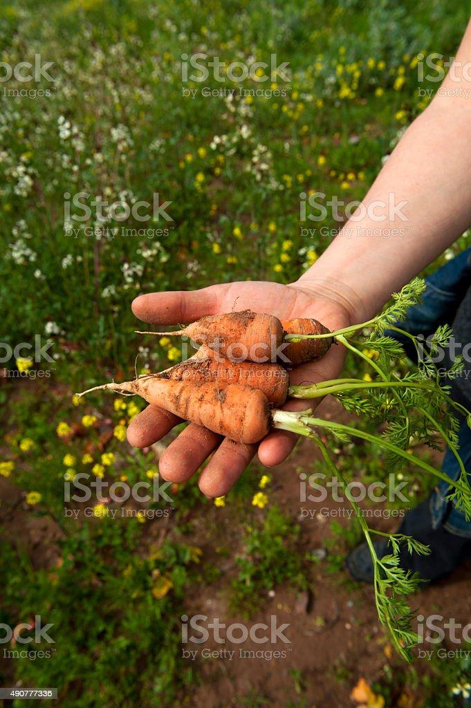Fresh organic carrots stock photo