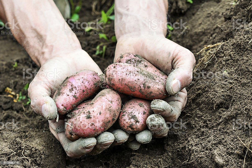 fresh organic potatoes stock photo