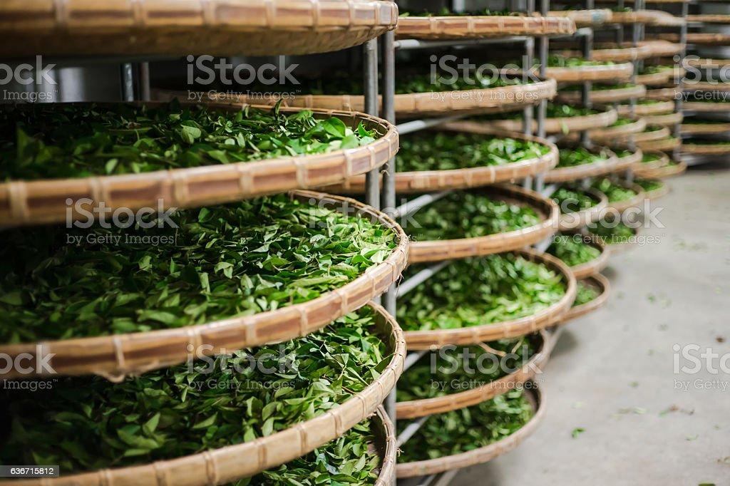 fresh organic tea bud & leaves stock photo