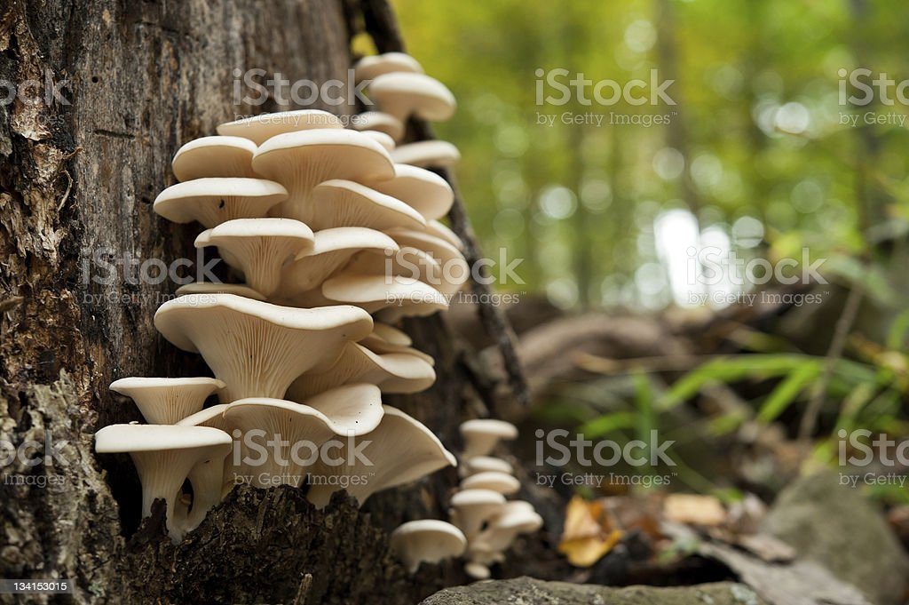 fresh oyster mushrooms on a dead tree stock photo