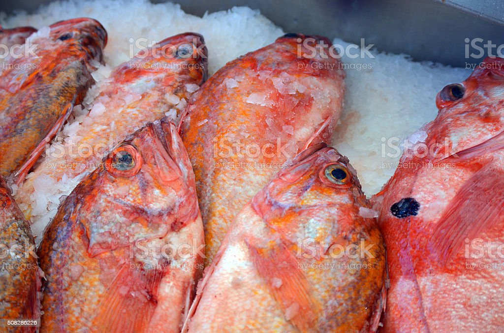 Fresh Pacific Red Snapper stock photo