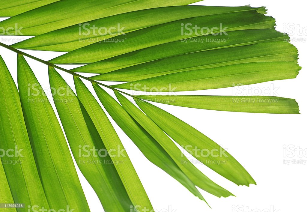 fresh palm leaf royalty-free stock photo