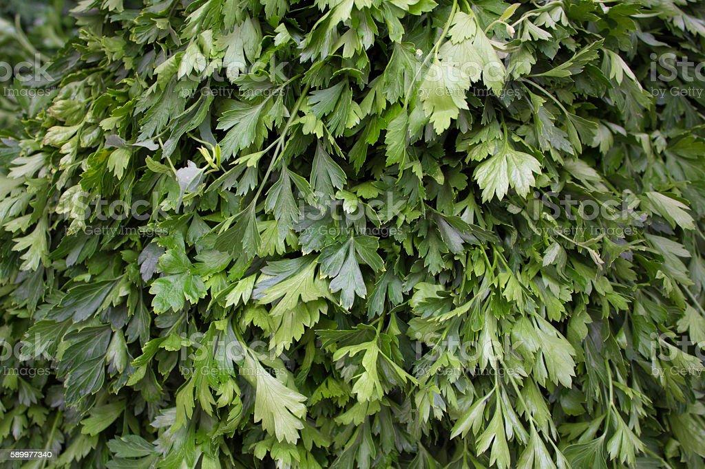 Fresh parsley background stock photo
