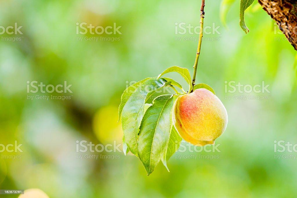Fresh Peach Hanging on Tree royalty-free stock photo