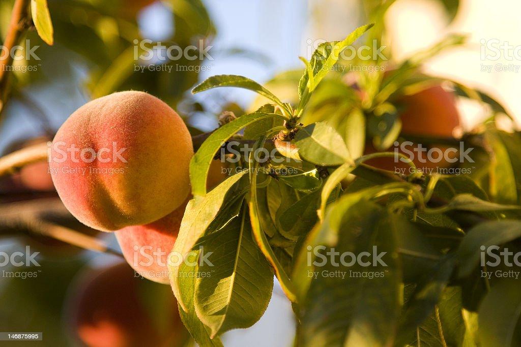 Fresh Peach on the Vine royalty-free stock photo