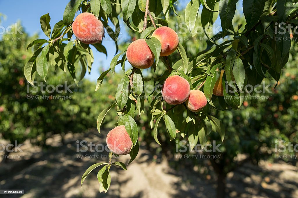 Fresh peaches hanging off a branch in a mediteranean orchard stock photo