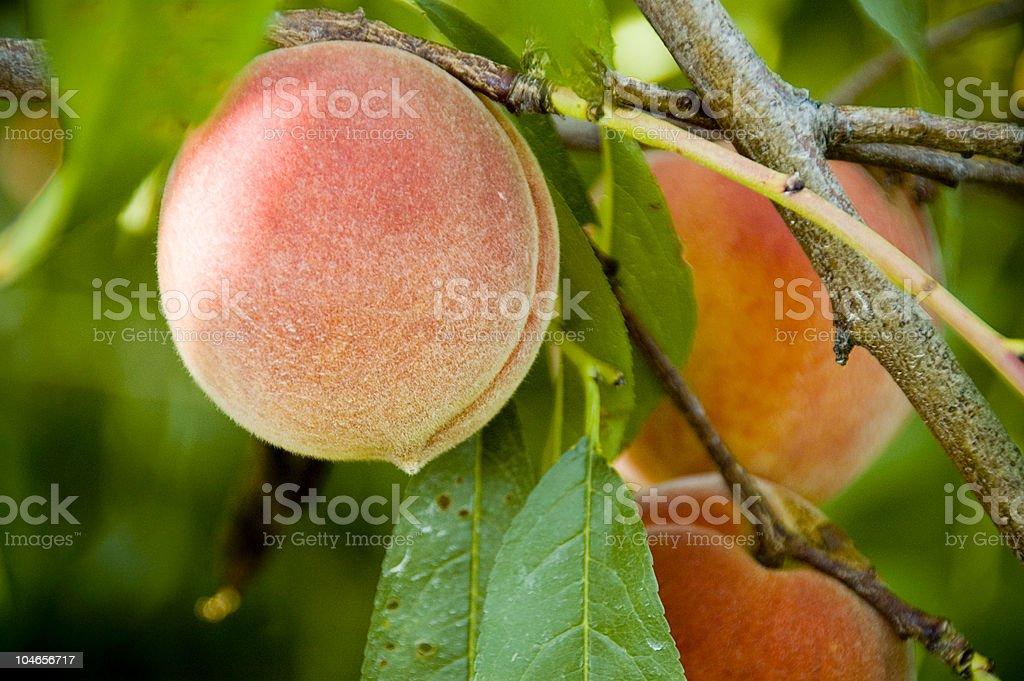 Fresh Peaches royalty-free stock photo