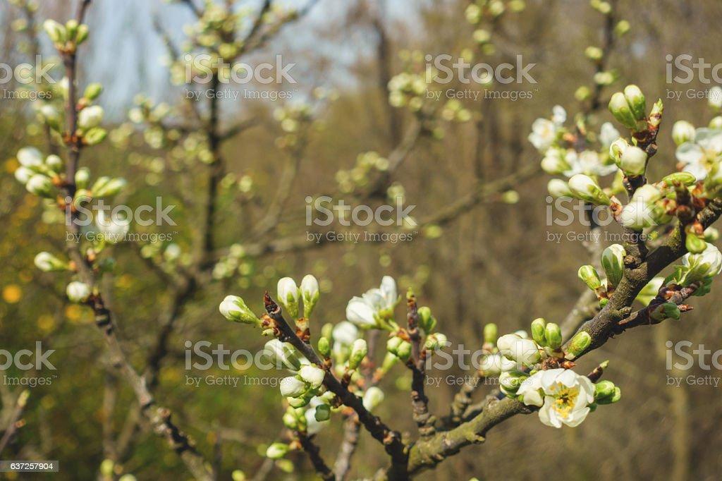 Fresh Pear Buds stock photo