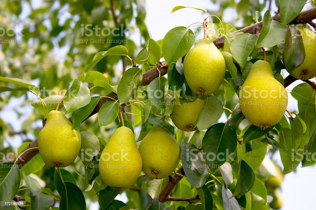 Fresh pears growing on a tree branch stock photo