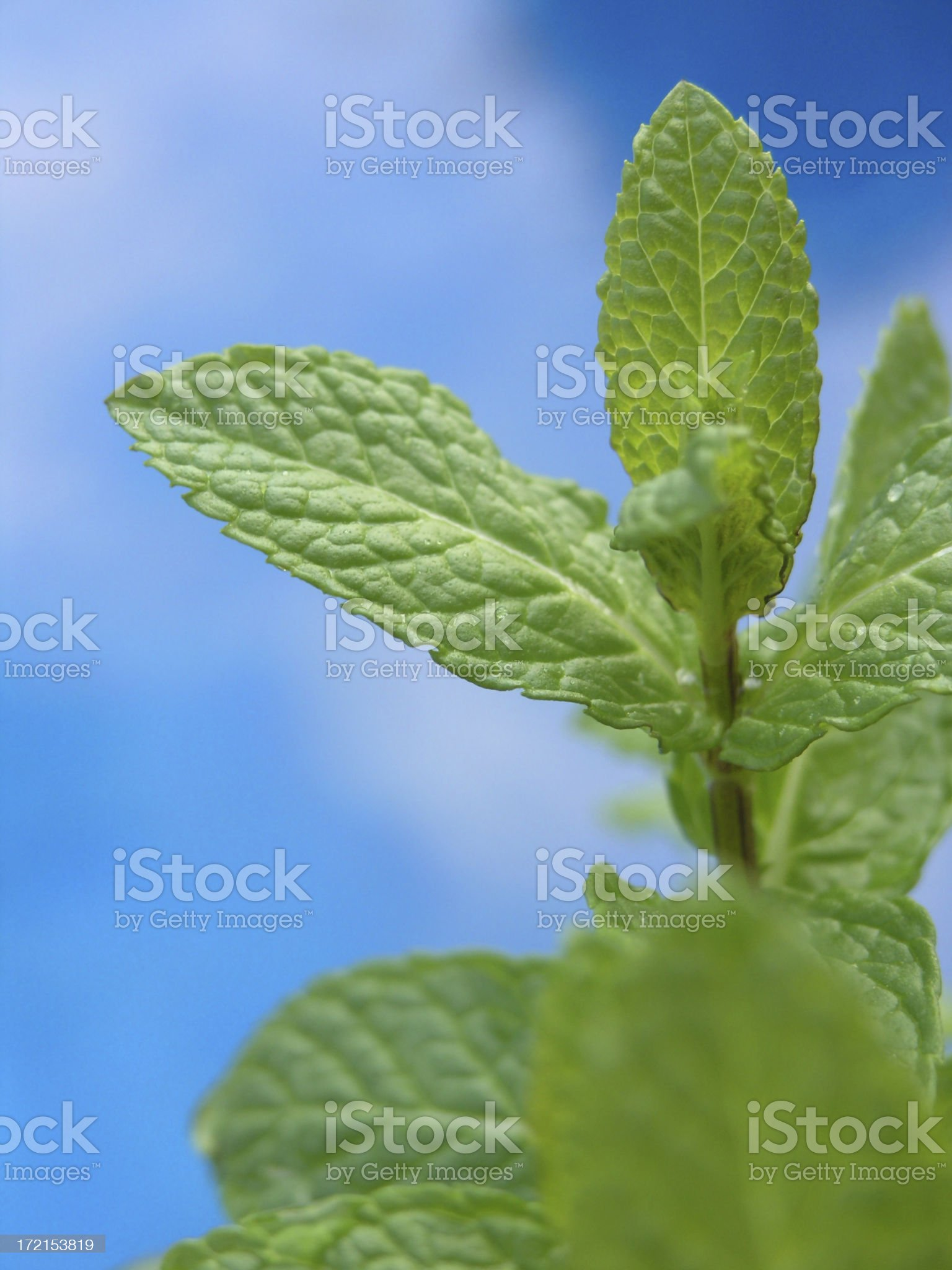 fresh peppermint leaves royalty-free stock photo