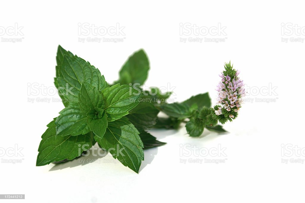 Fresh picked mint isolated on a white background royalty-free stock photo