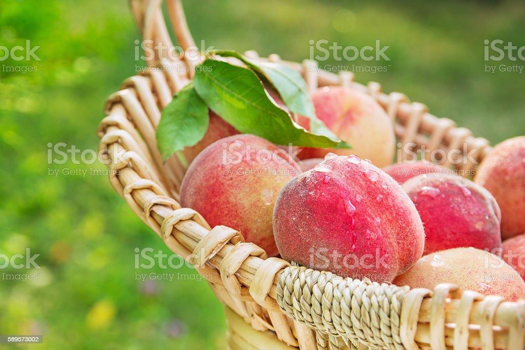 Fresh picked natural organic peaches stock photo