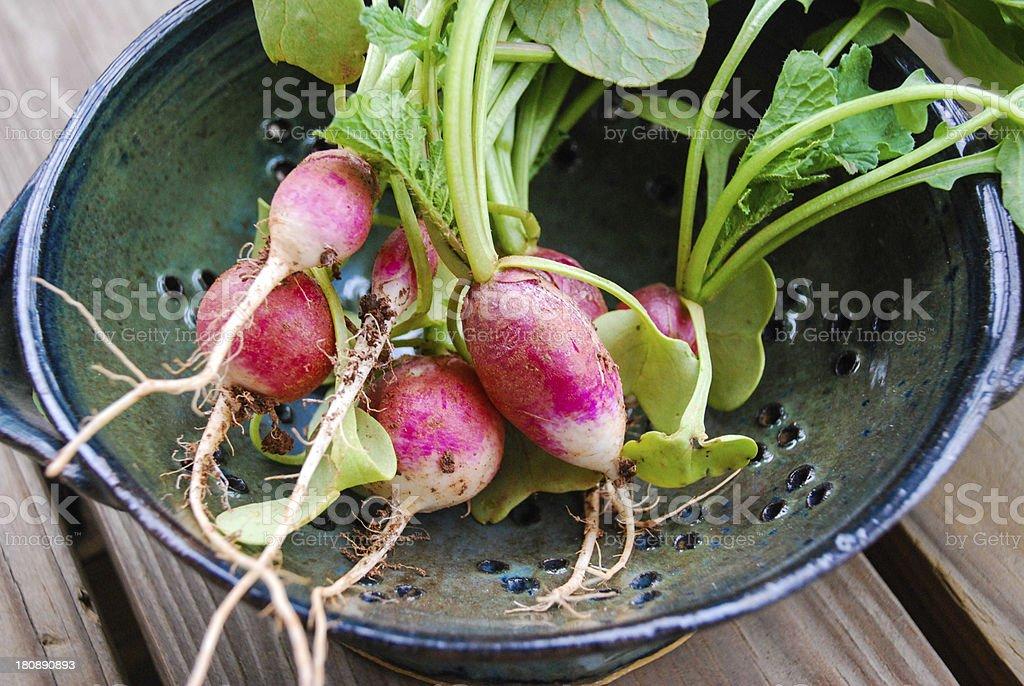 Fresh Picked Radishes royalty-free stock photo