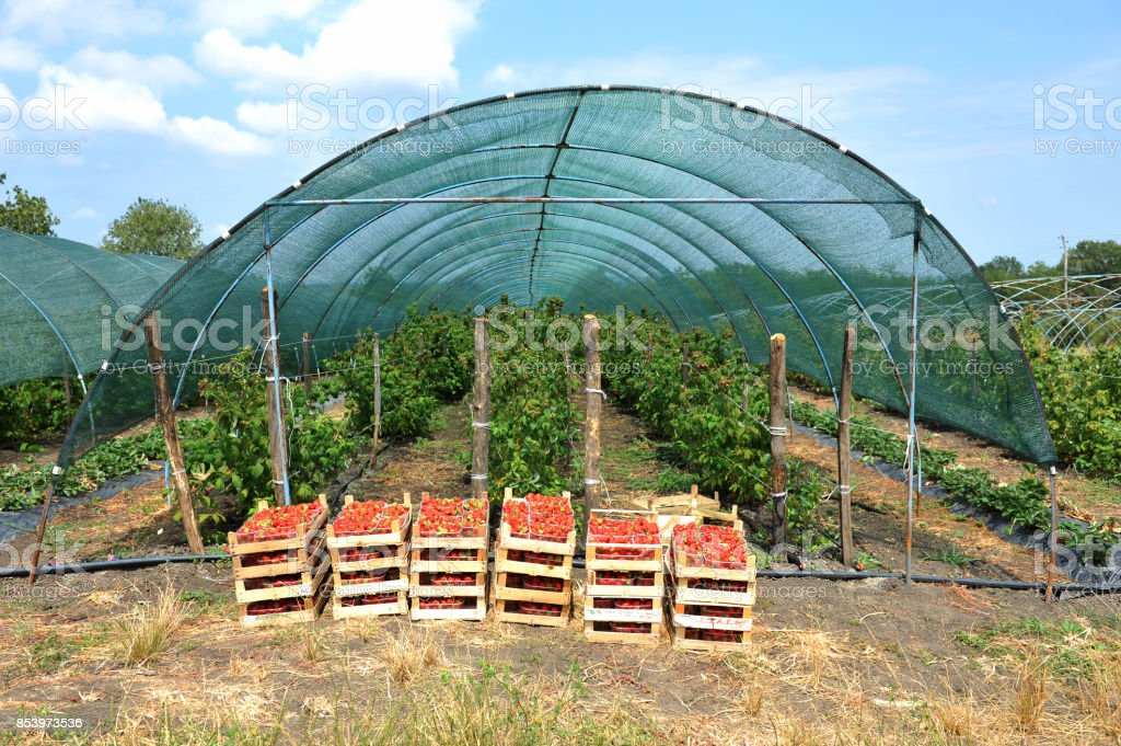 Fresh picked red strawberries in a wooden boxes in front of greenhouse stock photo