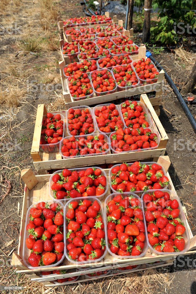 Fresh picked red strawberries in a wooden boxes stock photo