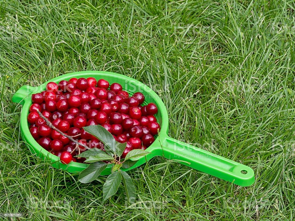 Fresh picked sour cherries, Prunus cerasus. stock photo