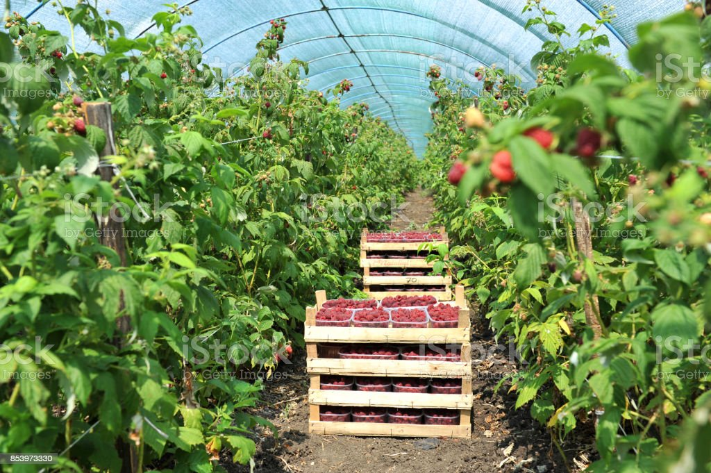 Fresh picked strawberries in the basket inside greenhouse stock photo