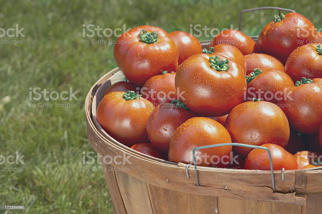 Fresh picked Tomatoes in basket royalty-free stock photo