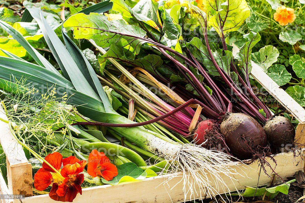 Fresh Picked Vegetables from allotment in a box stock photo