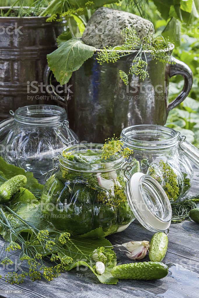 Fresh pickling cucumbers in the countryside royalty-free stock photo