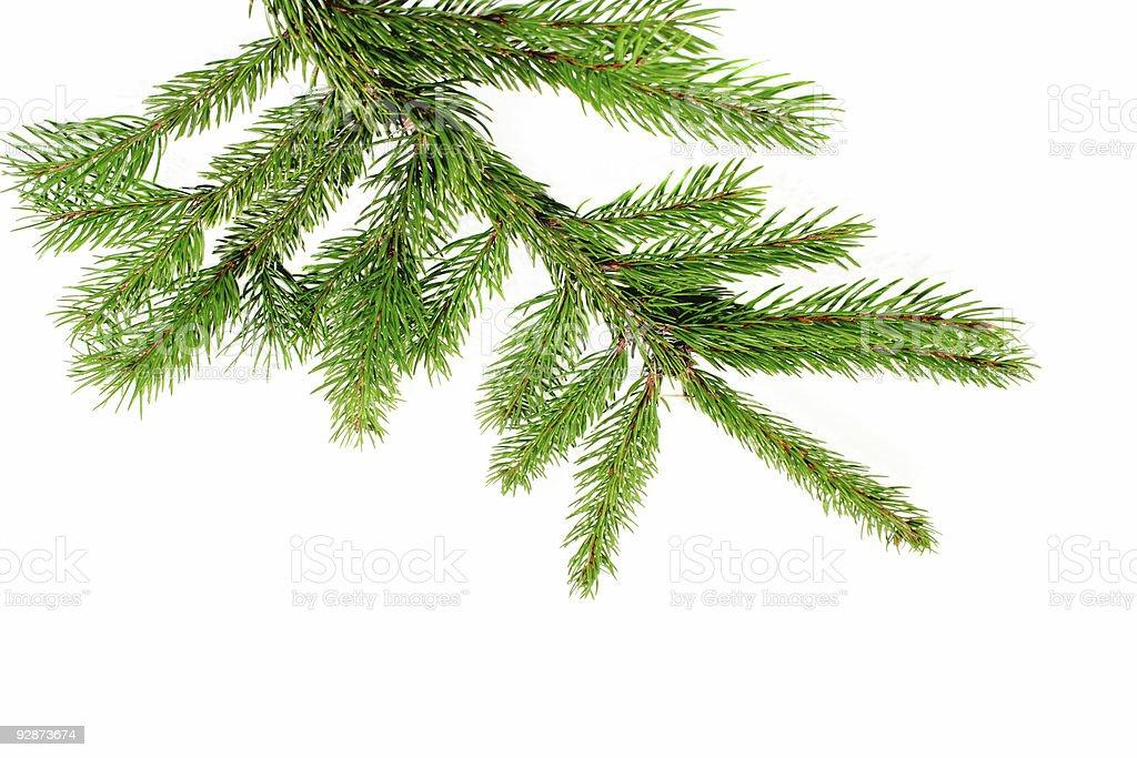 Fresh pine branch royalty-free stock photo