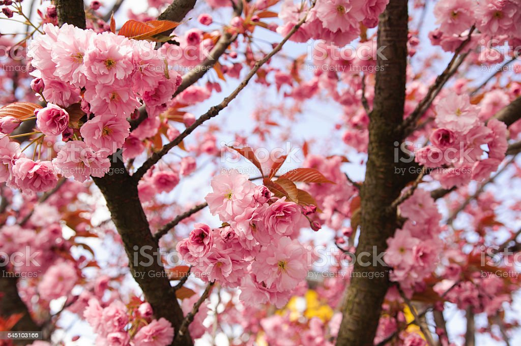 Fresh pink cherry blossom against a bright sky stock photo