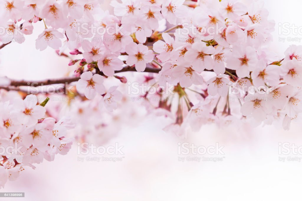 Fresh Pink Cherry Blossom in Spring stock photo