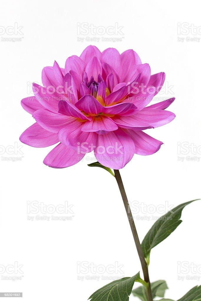 Fresh pink dahlia close up royalty-free stock photo
