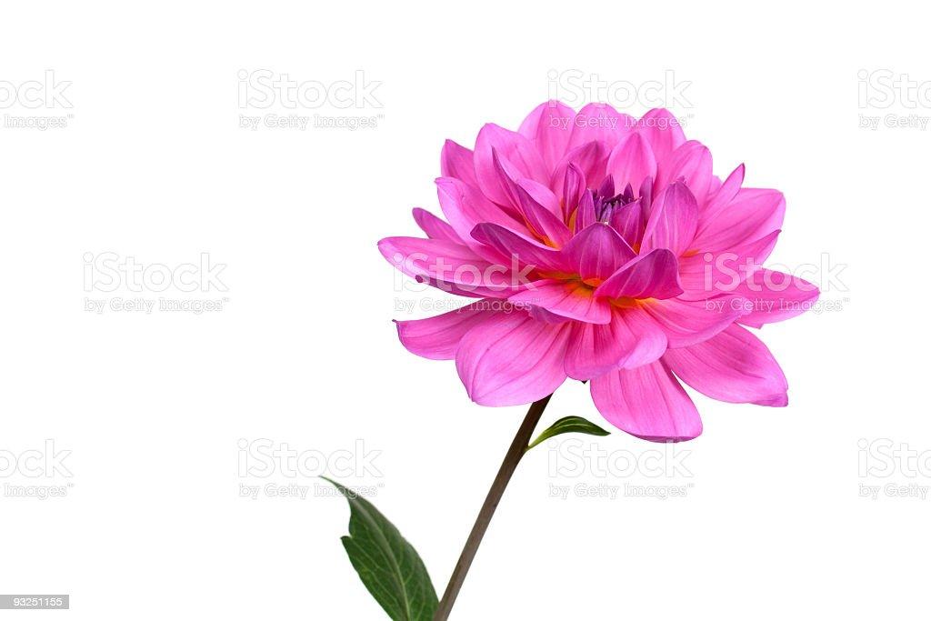 Fresh pink dahlia ,close up stock photo