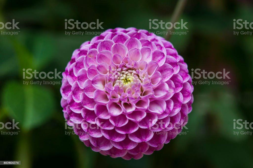 Fresh Pink Dahlia Fermain flower, close-up stock photo