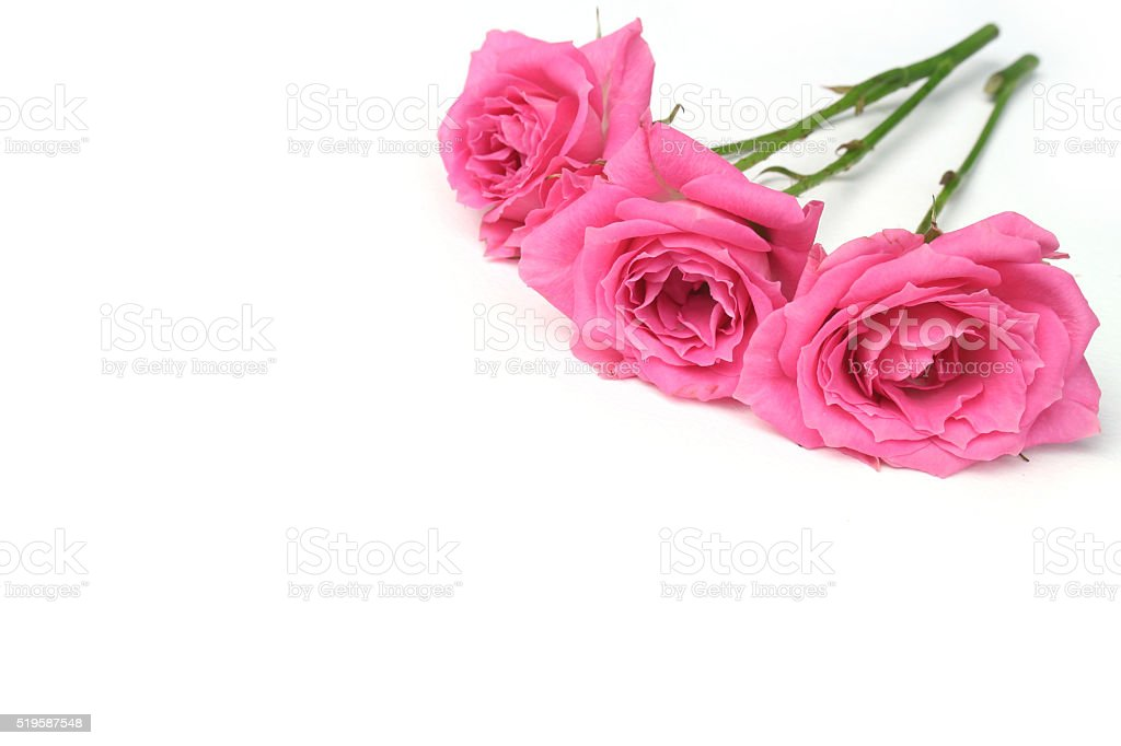 fresh pink rose flowers and copy space stock photo