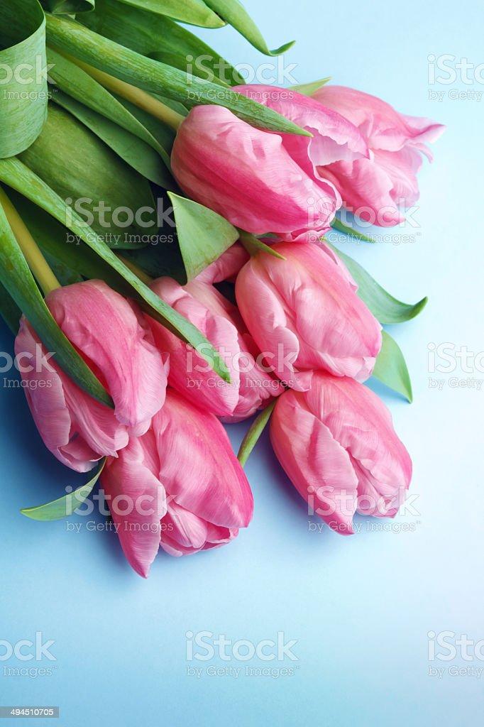 fresh pink tulips on blue background royalty-free stock photo