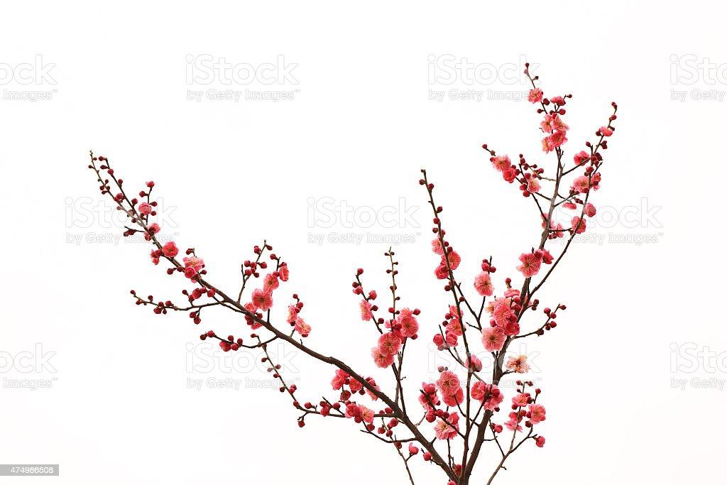 fresh plum tree flowers isolated on white background stock photo
