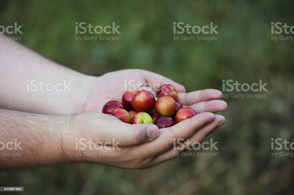Fresh plums stock photo