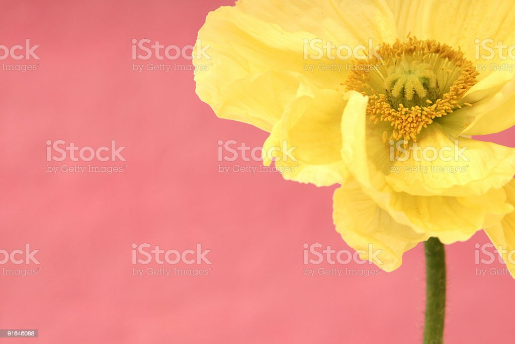 Fresh Poppy royalty-free stock photo