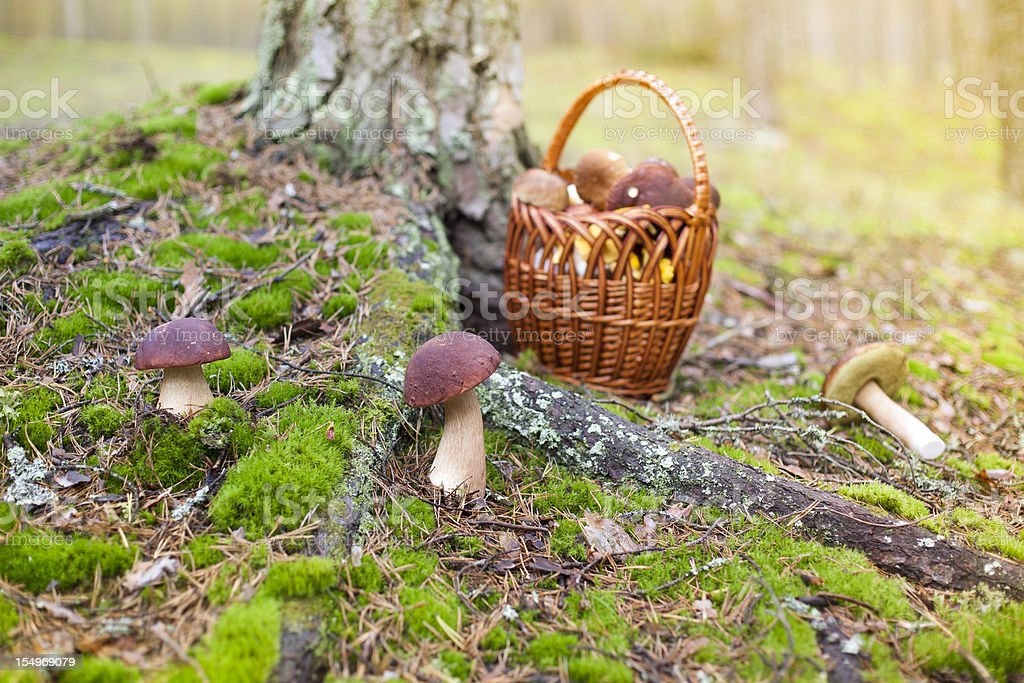 Fresh Porcini Mushrooms royalty-free stock photo