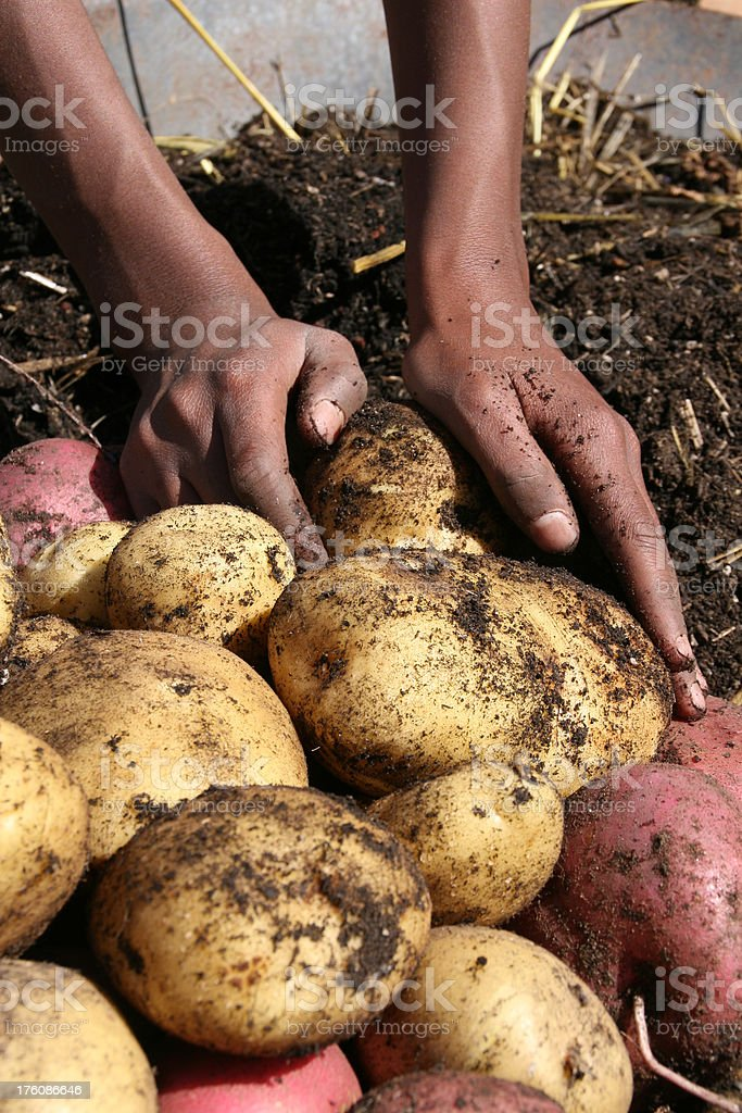 Fresh Potato Harvest stock photo
