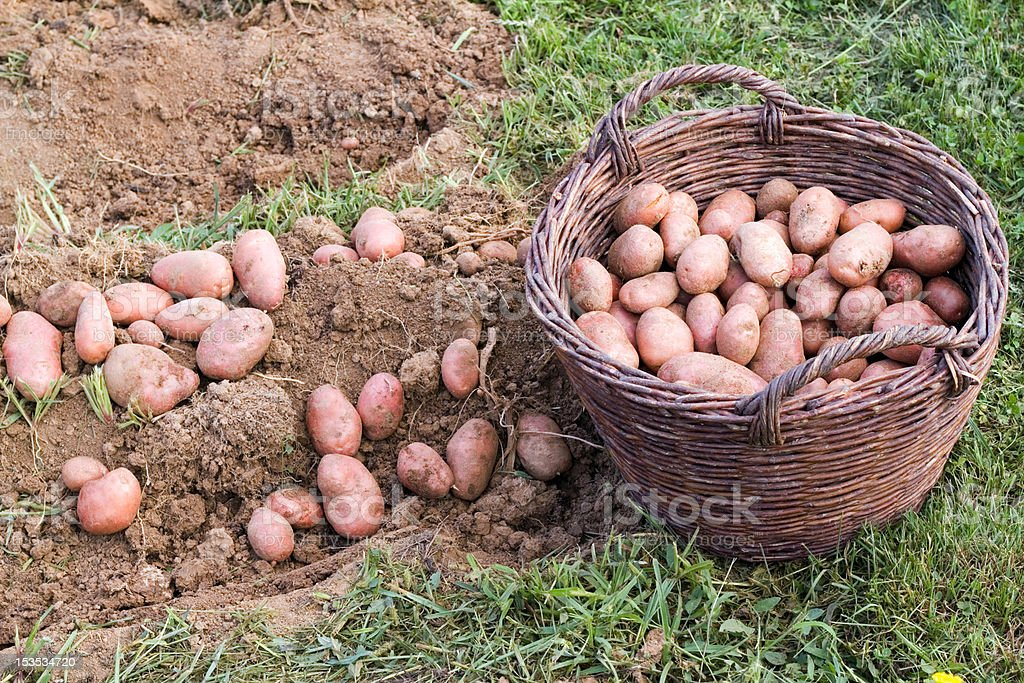 Fresh potato royalty-free stock photo