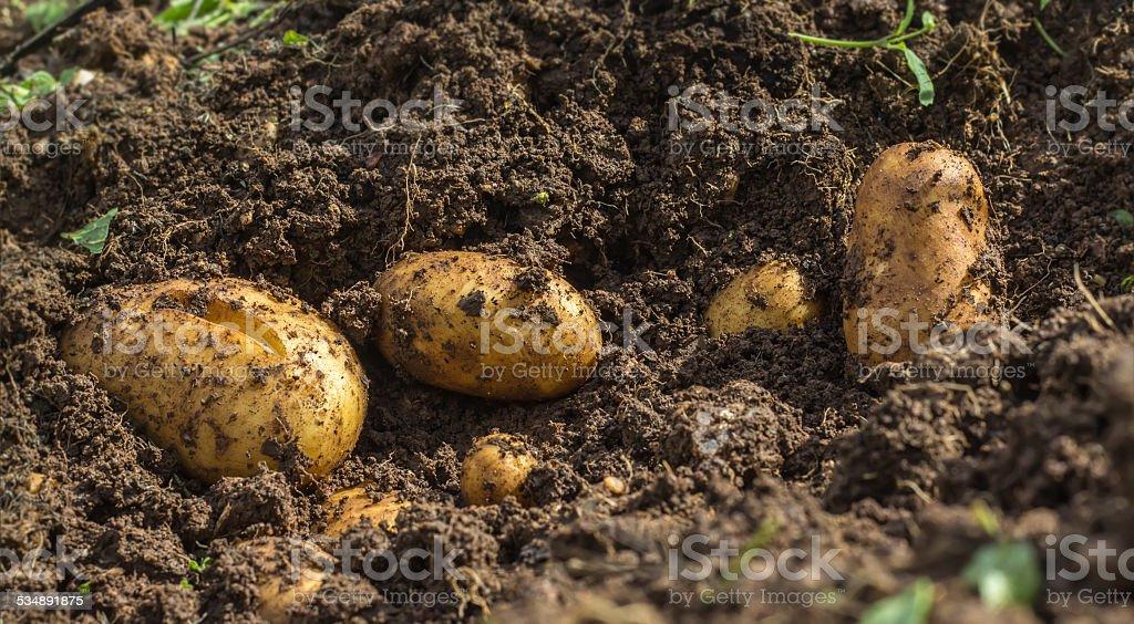 Fresh potatoes in the ground stock photo