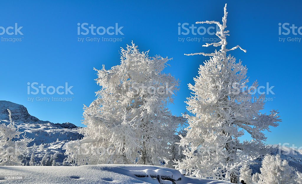 Fresh powder snow in the morning covers trees stock photo