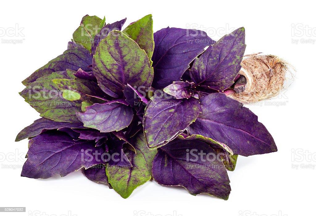 Fresh purple basil isolated on white background stock photo