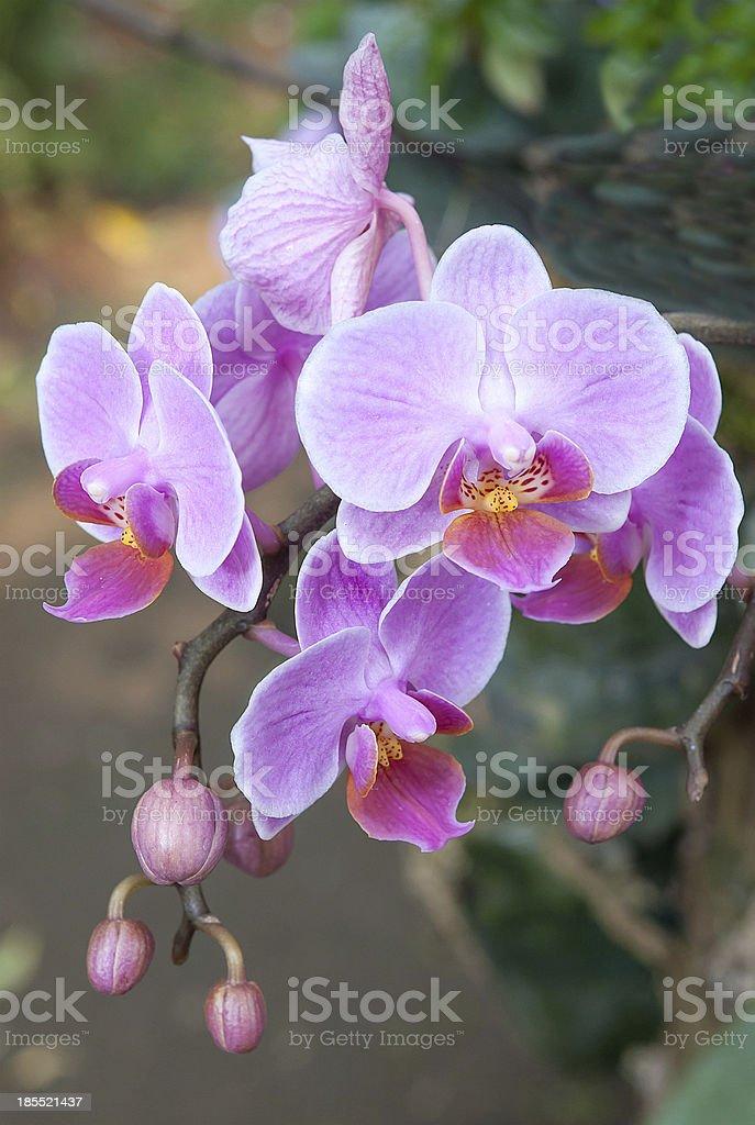 Fresh purple orchid royalty-free stock photo