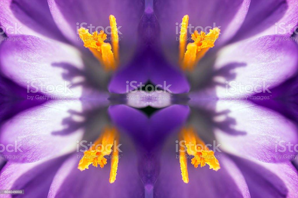 Fresh purple Saffron Crocus flower surreal shaped symmetrical kaleidoscope stock photo
