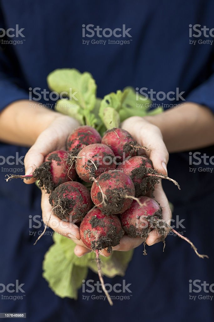 Fresh Radishes with roots. royalty-free stock photo