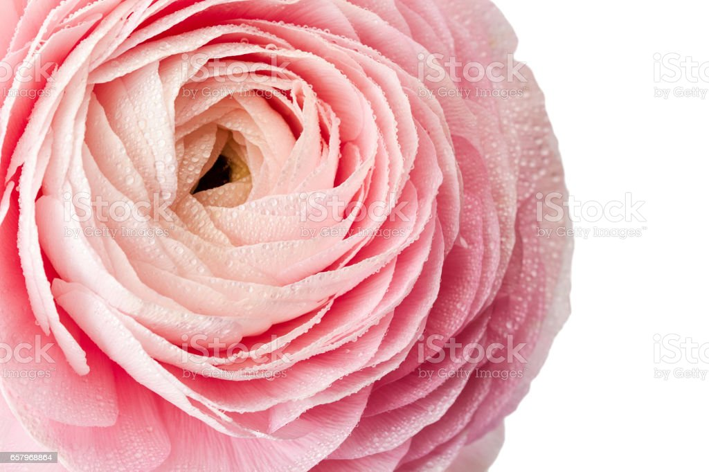 Fresh ranunculus flower with water drops on white stock photo