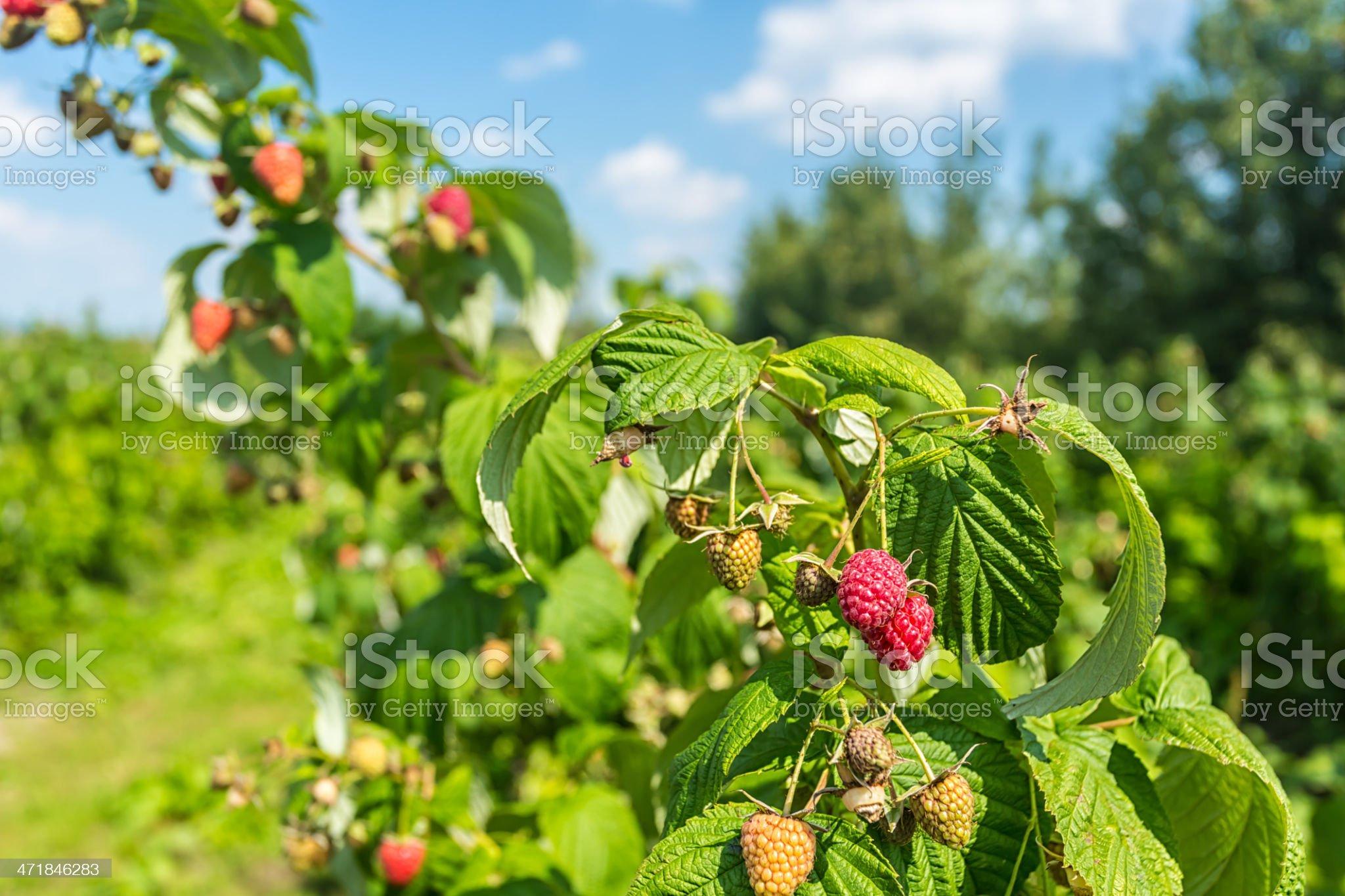 Fresh raspberries royalty-free stock photo