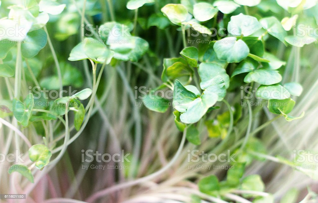Fresh Raw Bean Sprouts (Close-Up, Full Frame) stock photo