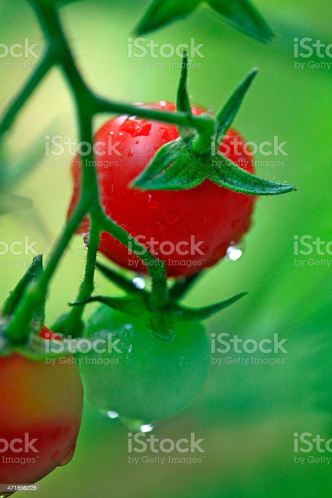 Fresh red and green cherry tomatoes with rain drops royalty-free stock photo