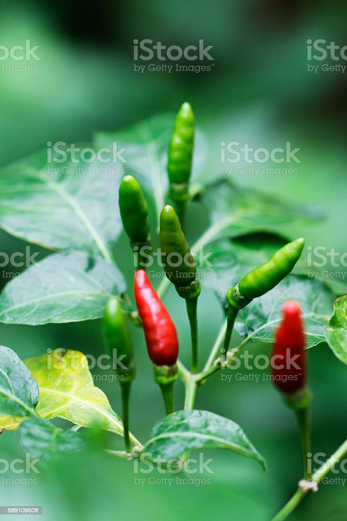 fresh red and green chilli in garden stock photo