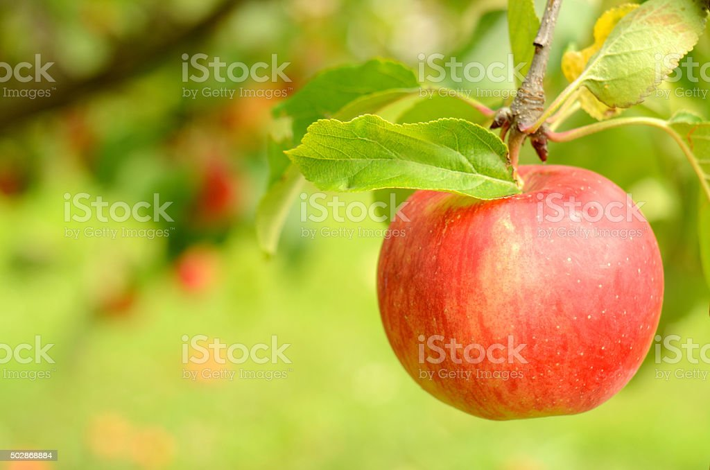 Fresh red apple with leaves on branch stock photo